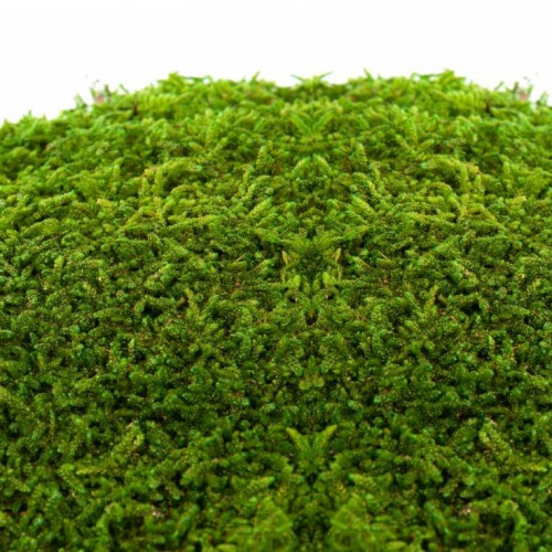 flat-moss-kara-yosunu